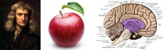 Isaac Newton, una manzana como la que parece que le inspiró a reflexionar sobre la gravitación universal y una sección longitudinal del cerebro con la zona involucrada en la creatividad espontánea y cognitiva marcada en morado. Fuentes (de izquierda a derecha): Wikimedia (http://commons.wikimedia.org/wiki/File:GodfreyKneller-IsaacNewton-1689.jpg); The Squeeze (http://thesqueezejuice.com/blog/2014/08/14/can-an-apple-a-day-really-keep-the-doctor-away/); Wikimedia (http://en.wikipedia.org/wiki/Human_brain#mediaviewer/File:Sobo_1909_624.png).